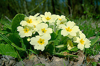PRIMROSE Primula vulgaris (Primulaceae) Height to 20cm<br /> Familiar herbaceous perennial, found in hedgerows, woodlands and shady meadows. FLOWERS are 2-3cm across, 5-lobed and pale yellow, usually with deep yellow centres; solitary and borne on long hairy stalks that arise from the centre of the leaf rosette (Feb-May). FRUITS are capsules. LEAVES are oval, tapering, crinkly and up to 12cm long; they form a basal rosette. STATUS-Widespread and common throughout.