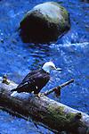 bald eagle at Anan Crek