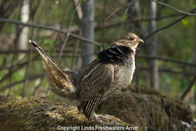 Ruffed grouse (Bonasa umbellus) in a courtship display