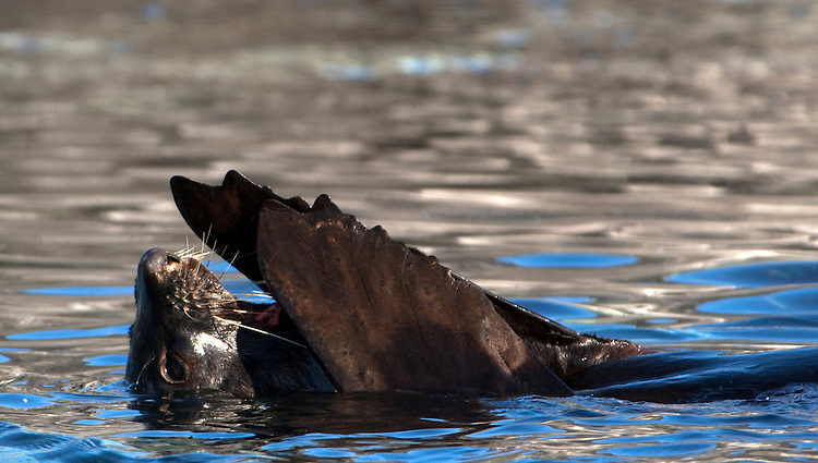 Antarctic fur seal (Arctocephalus gazella), Gourdin Island