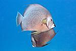 Pomacanthus arcuatus, Gray angelfish, Cozumel, Mexico