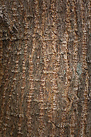 Close up photo of the bark on the side of an Osage Orange tree.