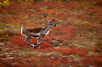 A caribou runs across the tundra of Denali National Park, Alaska.