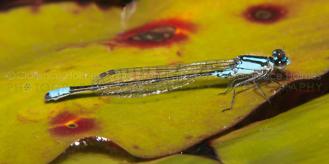 Skimming Bluet (Enallagma geminatum) Damselfly - Male, Promised Land State Park, Greentown, Pike County, Pennsylvania