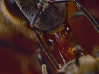Antenna contact is mainly used during the exchange of food. A foraging bee that has gathered nectar keeps it in its crop. Arriving in the hive, the bee regurgitates it and transfers it to another bee who will store it. This exchange is the trophallaxis. The hymenoptera that will receive the nectar places its antennas between the mandibles of the foraging bee to ask for it and extends its tongue. The foraging bee responds to the demand with specific antenna movements and regurgitates the nectar. Other antenna movements signal the end of the exchange.<br /> Les contacts antennaires sont principalement utilisés lors des échanges de nourriture. Une butineuse ayant collecté du nectar le conserve dans son jabot. Arrivée à la ruche, elle le régurgite et le transmet à une autre abeille qui ira le stocker. Cet échange est la trophallaxie. L'hyménoptère qui recueille le nectar place ses antennes entre les mandibules de la butineuse pour la solliciter et étend sa langue. La butineuse répond à la demande par des mouvements d'antennes spécifiques et régurgite le nectar. D'autres mouvements d'antennes indiquent la fin de l'échange.