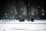 18.1.13.Snow hits london.Man feeding the birds in Regents Park today - then he slips over as the birds swarm (flock) towards and around him for the food..He slips and drops his umbrella......Pic by Gavin Rodgers/Pixel 8000 Ltd