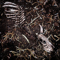 The skeleton of a dead cow.