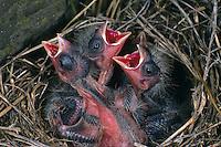 Berg-Hänfling, Berghänfling, Küken im Nest sperrend, bettelnd, Carduelis flavirostris, Acanthis flavirostris, twite
