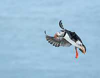 Atlantic Puffin landing with wings aloft and feet down