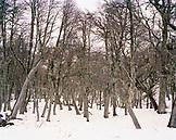 ARGENTINA, Patagonia, bare trees at Nahuel Huapi National Park