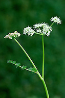 SPIGNEL Meum athamanticum (Apiaceae) Height to 60cm<br /> Aromatic, hairless, hollow-stemmed perennial of upland grassland. Fibrous remains of previous year's leaf stalks crown rootstock. FLOWERS are creamy white; in frothy-looking umbels, 3-6cm across (Jun-Jul). FRUITS are egg-shaped and ridged. LEAVES are 3- to 4-pinnate with bristle-like lobes. STATUS-Local, from N Wales to Scotland.