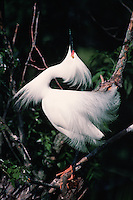 Snowy Egret showing breeding plumage