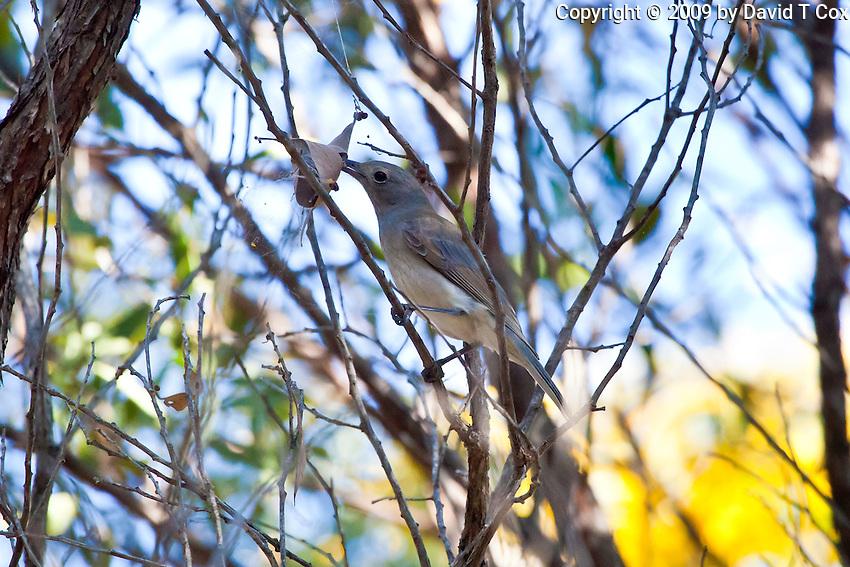 Grey Shrike-Thrush, 1770 ocean trail, Queensland, Australia