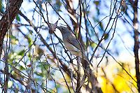 Grey Shrike-Thrush, 1770 ocean trail, Queensland, Australia