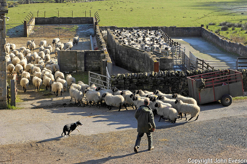 David Eames of Middle Lee, Abbeystead, Lancashire moving his Swaledale ewes in for scanning. .