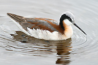 A Wilson's Phalarope feeds in a wetland near the Jefferson River outside Whitehall, Montana.