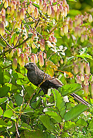 Groove-billed Ani, Belize