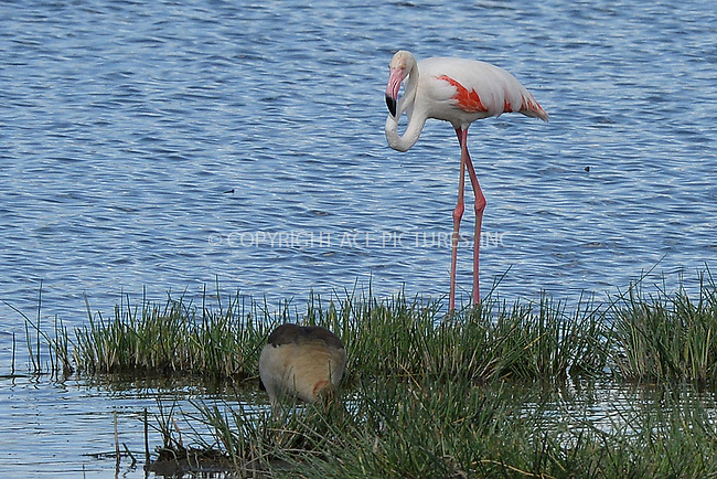 WWW.ACEPIXS.COM<br /> February 29, 2016 New York City<br /> <br /> Pink Flamingo seen at Lake Nakuru National Park on February 29, 2016 in Kenya.<br /> <br /> Credit: Kristin Callahan<br /> web: http://www.acepixs.com