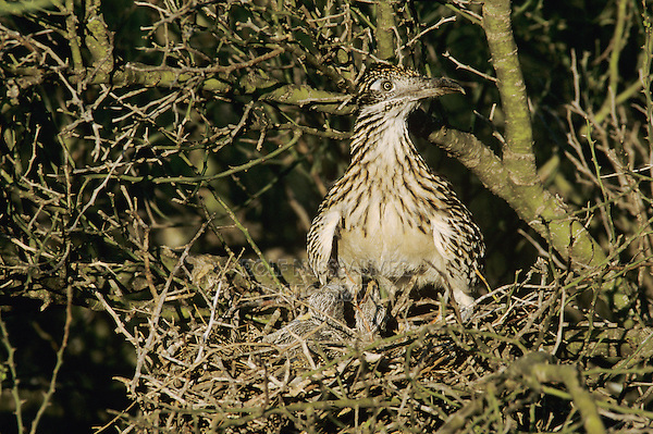 Greater Roadrunner, Geococcyx californianus,adult on nest with young in Paloverde (Parkinsonia texana) , Starr County, Rio Grande Valley, Texas, USA, May 2002
