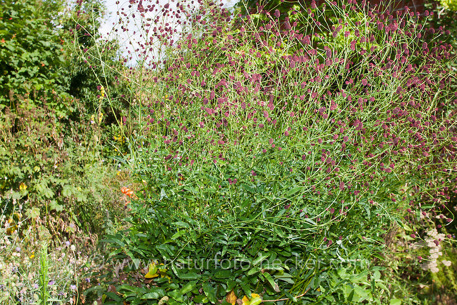Großer Wiesenknopf, Groß-Wiesenknopf, Sanguisorba officinalis, Synonym Sanguisorba  major, Sanguisorba  maior, Great Burnet