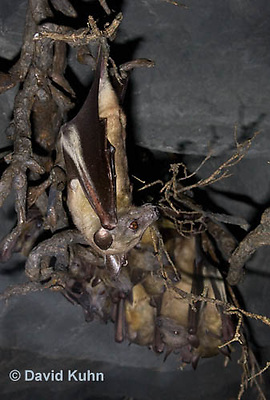0812-1005  Straw Colored Fruit Bat Hanging Upside Down in Roost, Eidolon helvum  © David Kuhn/Dwight Kuhn Photography