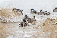 00729-02209 Mallards (Anas platyrhynchos)  in wetland in winter, Marion Co. I