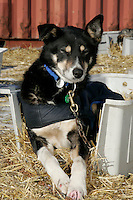 "Wednesday March 14, 2007   ----   ""Foster"", one of Lance Mackey's team dogs rests in a kennel of straw at the dog lot in Nome"