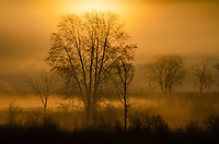 Trees are silhouetted against a golden sunrise mist and fog at Phyllis Haehnle Memorial Sanctuary in Jackson County, Michigan