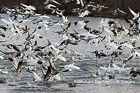 00754-02608 Snow Geese (Anser caerulescens) landing on lake Marion Co. IL