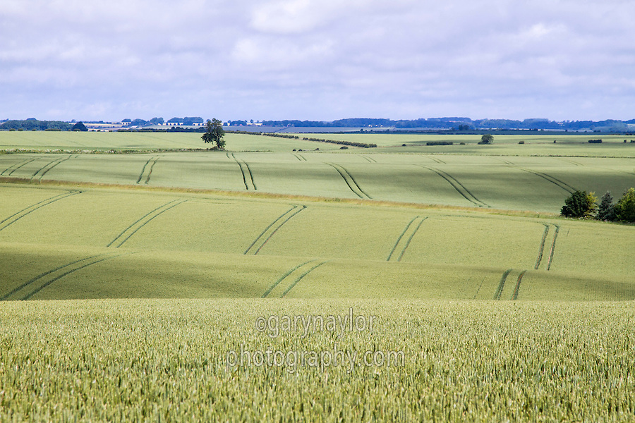 Lincolnshire lanscape with wheat in ear - Lincolnshire Wolds, June