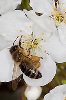 Honigbiene, sammelt Pollen an Kirschblüten, Kirsche, Prunus avium, Pollenhöschen, Blütenbestäubung, Blütenbesucher, Nektarsuche, Honig-Biene, Biene, Apis mellifera, honey bee, hive bee