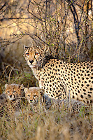 A unique capture of a mother cheetah with two newborn cubs, South Africa.