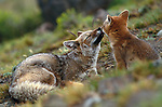 Argentine gray fox and kit