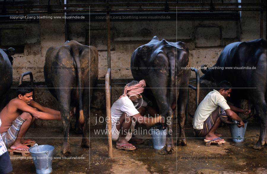 INDIA Mumbai, urban agriculture, stable with buffalos for milk production in living area in suburban Andheri / INDIEN Mumbai, urbane Landwirtschaft, im Stadteil Andheri befinden sich Bueffelstaelle in Wohngebieten, nach dem Melken wird die frische Milch direkt verkauft