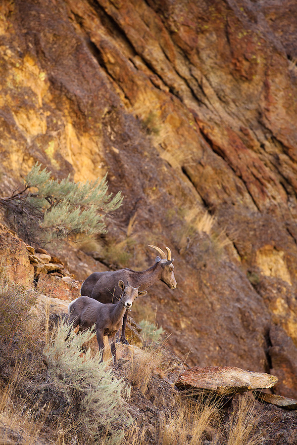 A young bighorn sheep grazes on the dry grasses amongst the sagebrush as  his mother looks around protectively in Leslie Gulch, Southeast Oregon.