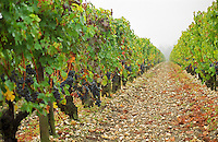 The vineyard of Chateau du Tertre in Margaux, with typical gravely pebbly  soil and Cabernet Sauvignon vines with ripe grapes at harvest time Margaux Medoc Bordeaux Gironde Aquitaine France Europe