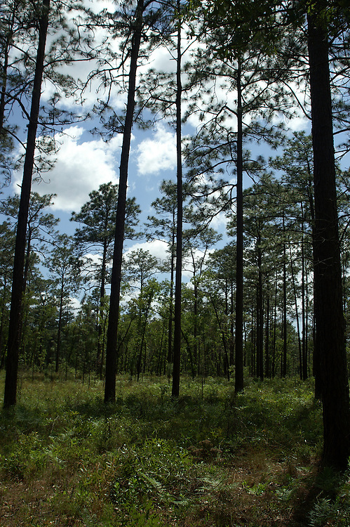The pine forests in the southeastern United States tend to be open with an understory of ferns and wildflowers.