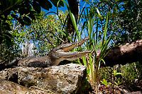 juvenile Morelet's crocodile, Central American crocodile, Mexican crocodile, or Belize, Caribbean, Atlantic crocodile, Crocodylus moreletii, gapes for thermoregulation while basking on bank of cenote, or freshwater spring, near Tulum, Yucatan Peninsula, Mexico, Caribbean, Atlantic