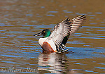 Northern Shoveler (Anas clypeata), male in breeding plumage flapping its wings, California, USA