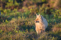 Red fox pauses on the tundra when hunting during the late night sunshine, Arctic, Alaska.