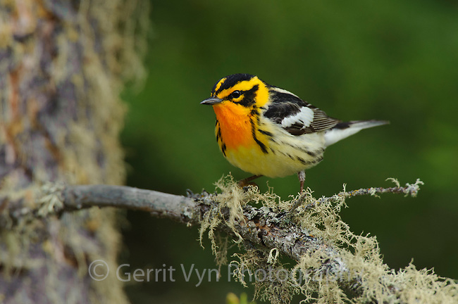 Adult male Blackburnian Warbler (Dendroica fusca) in breeding plumage. Alberta, Canada. May.