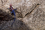 An agama lizard climbs a rock in Serengeti National Park, Tanzania.