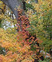 Poison Ivy, Sassafras, Cherry, Maple autumn foliage; PA, Fairmount Park