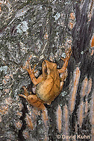 0302-0901  Spring Peeper Frog Climbing Tree Bark, Pseudacris crucifer (formerly: Hyla crucifer)  © David Kuhn/Dwight Kuhn Photography