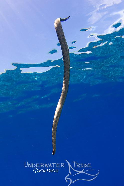 Chinese seasnake, Laticauda semifasciata, Gunung Api or Snake Island, Banda Sea, Nusa Tengarra, Eastern Indonesia, Pacific Ocean