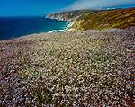 Wild Radish, Tomales Point, Point Reyes National Seashore, Marin County, California