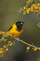Audubon's Oriole (Icterus graduacauda), adult on Huisache tree (Acacia farnesiana),Dinero, Lake Corpus Christi, South Texas, USA