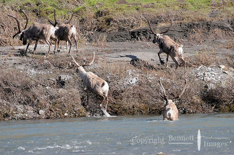A group of caribou climbs up the bank along the Kongakut River, in Alaska's Arctic National Wildlife Refuge.
