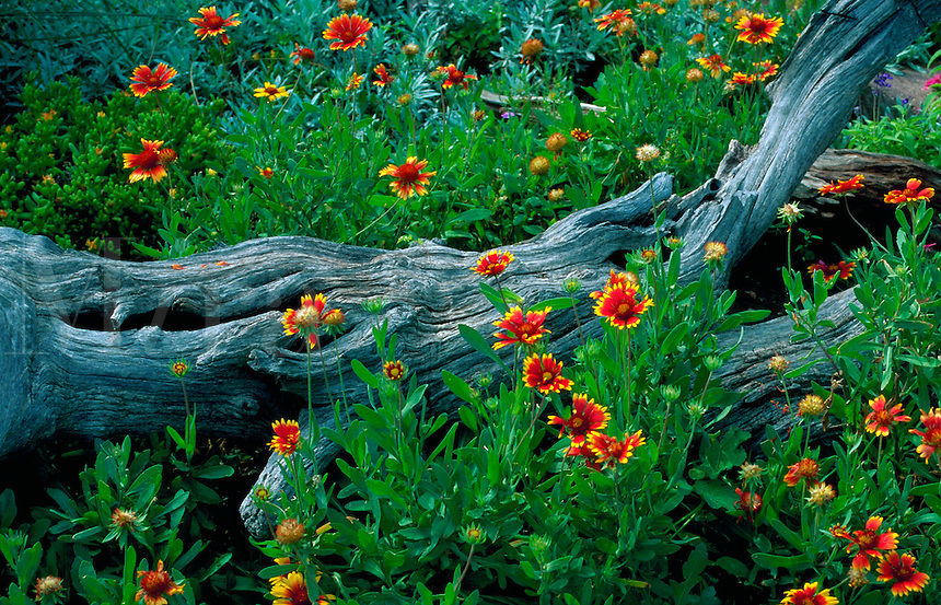 Scenic view of lush wildflowers - (Gaillardia pulchella). Arizona.