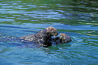 Two sea otters playing about.